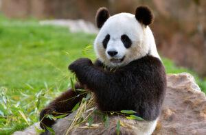 Is het erg dat pandaberen uitsterven?