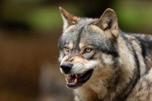 Vooroordelen over de wolf
